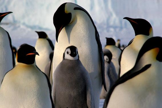 différence manchot pingouin